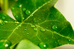 ivy leaf with water droplets