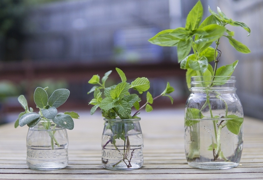 plants propagating in glass jars indoors