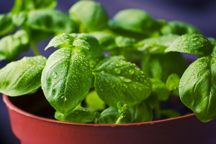 indoor basil plant in red pot