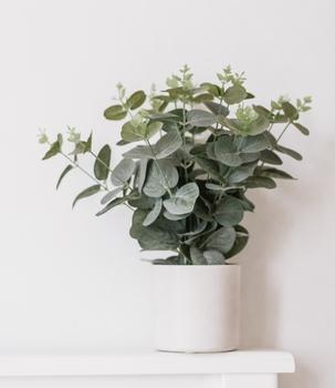 eucalyptus leaves in indoor pot