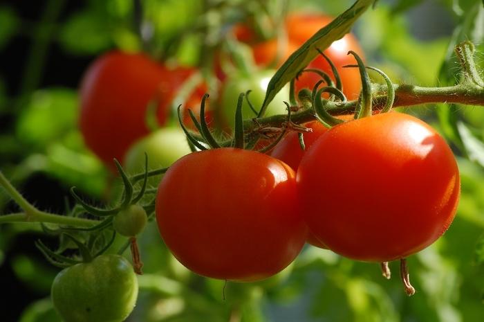 healthy tomato plant close up